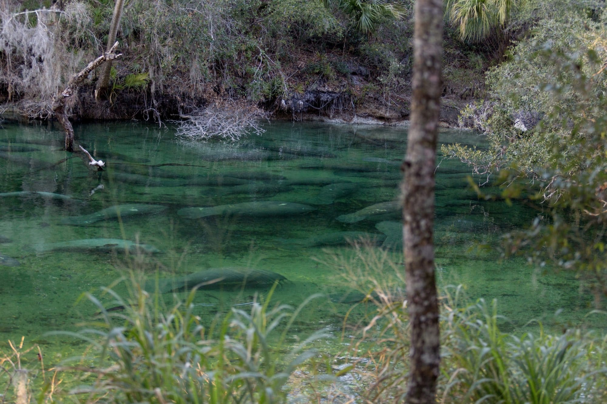Blue Springs Manatee refuge photography by Orange City photographer